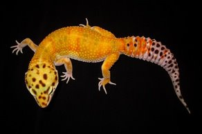 Top Hat Gecko