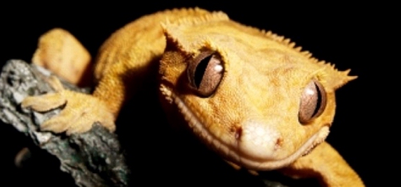 Crested Geckos with